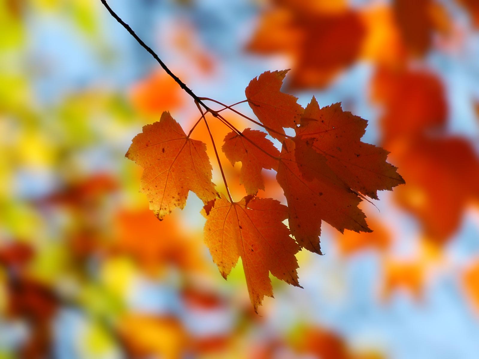 z leaf red
